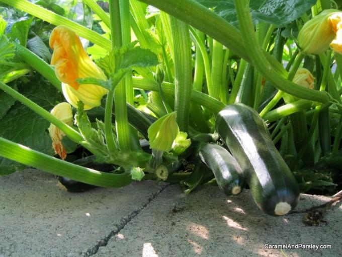 Zucchini - prolific and versatile