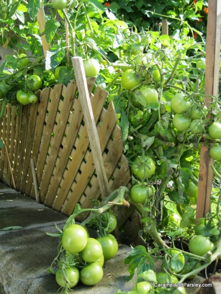 Green tomatoes galore - home grown with no chemicals