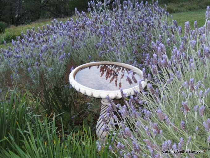 Lavendar in bloom by the birdbath