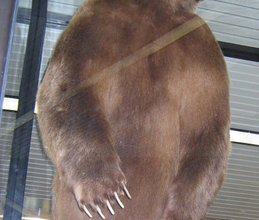 World Record Bear – Anchorage Airport, Alaska (no stats)