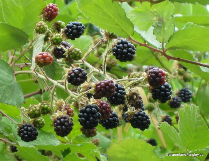 Blackberry Fruit Bramble