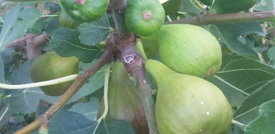How to Grow a Fabulous Fig Tree