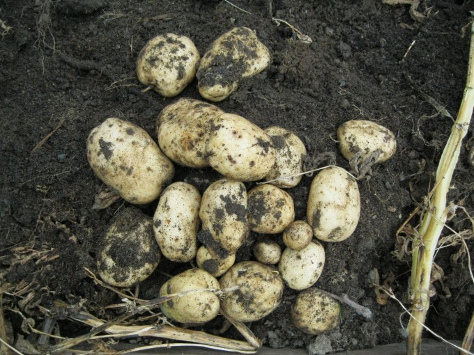 Potato Picking - A good start! Kennebec Potato.