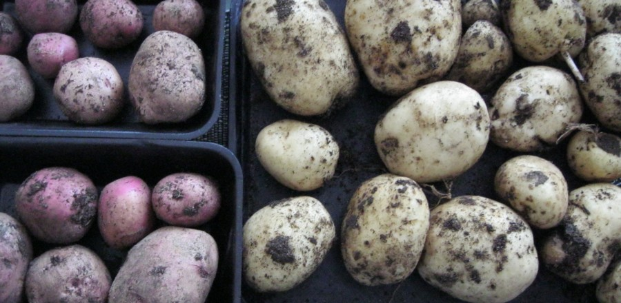 The Great Potato Debate ~ which variety to grow