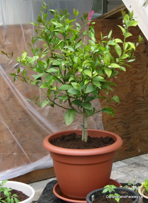 Meyer lemon tree in pot