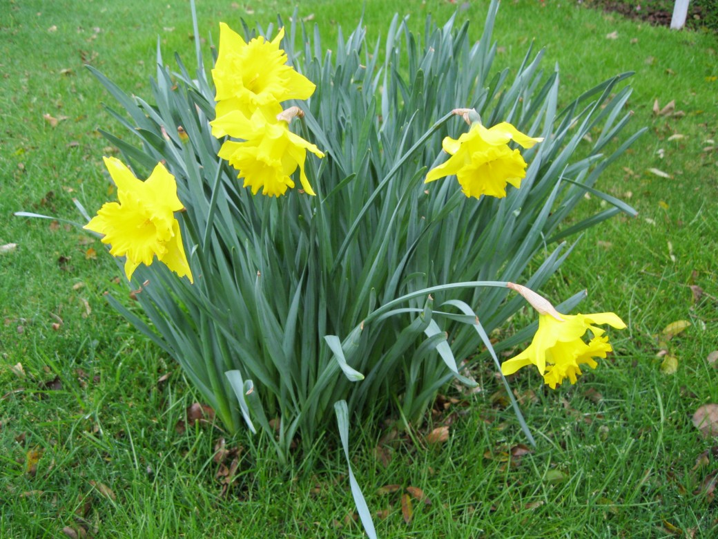 A sure sign its Springtime - a host of golden daffodils