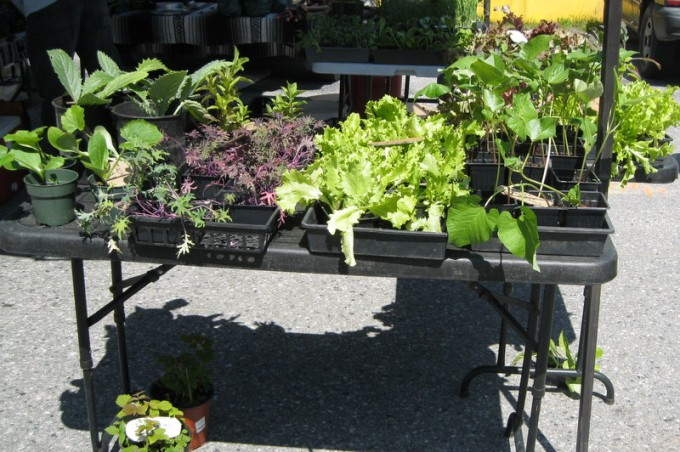 Bedding plants for sale