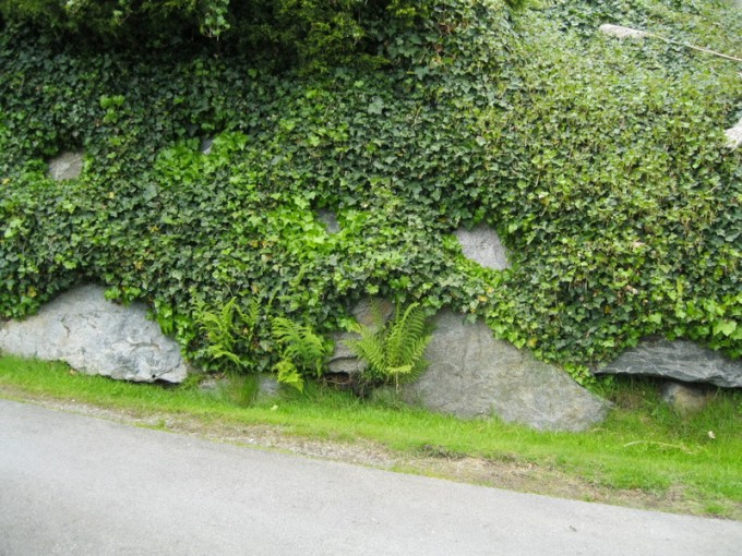 Driveway Ivy