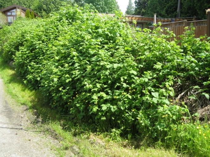 """""""Ornamental"""" driveway blackberries"""