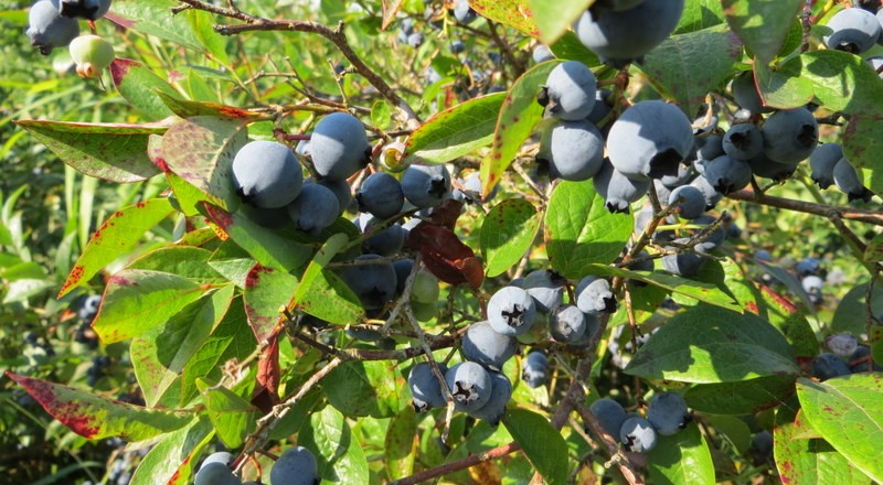Blueberry Fields Forever – fresh, local & certified organic