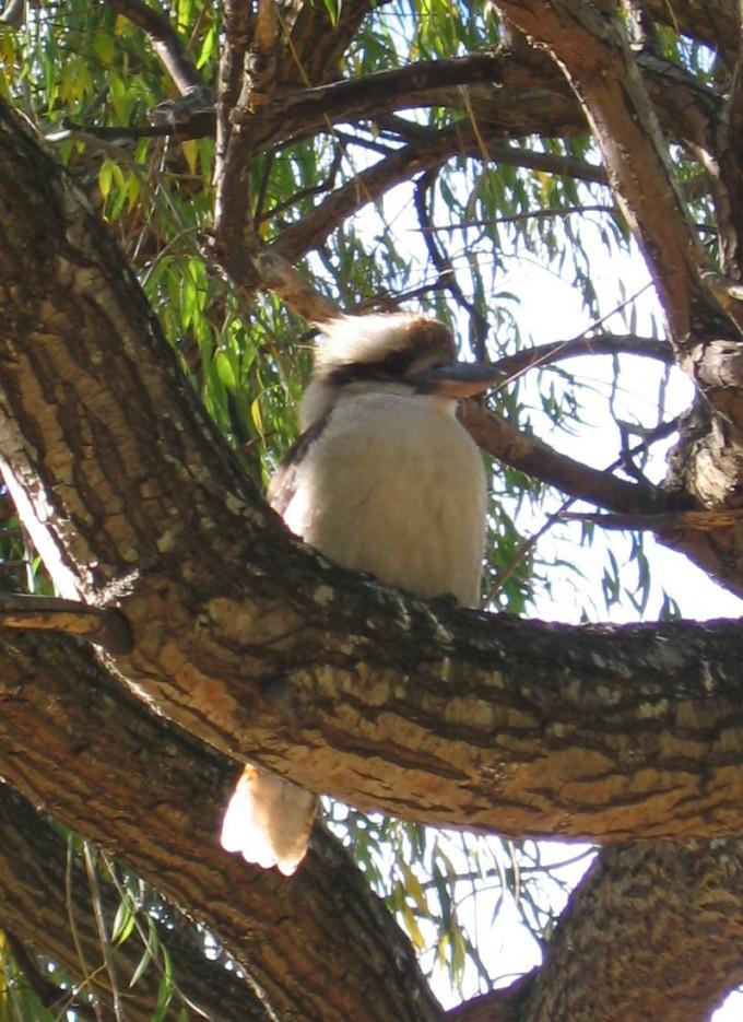 Kookaburra Victoria