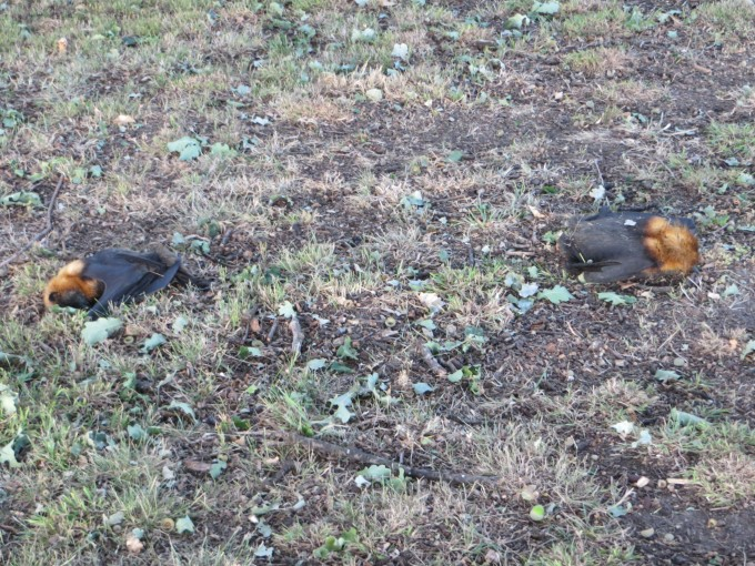 Dead bats found under trees the day after 42 C plus temperatures