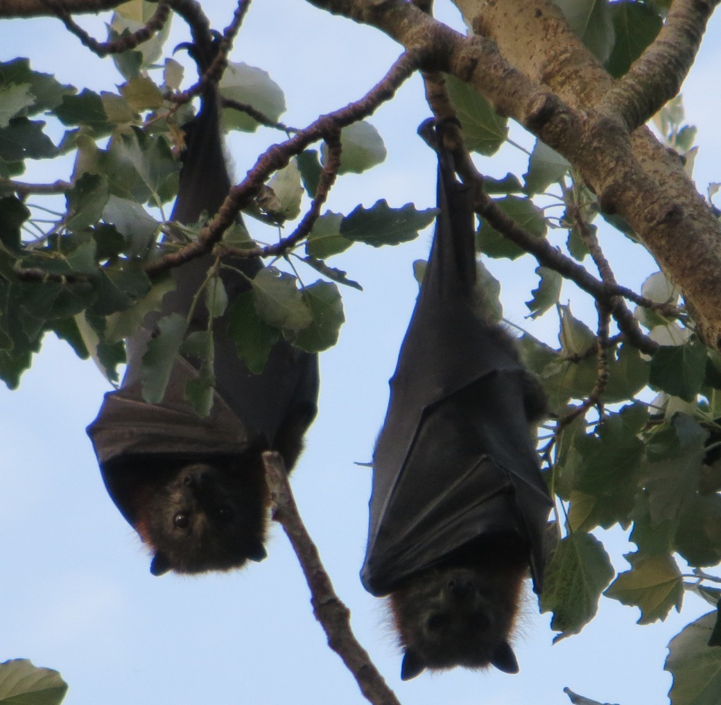 Flying foxes during the day
