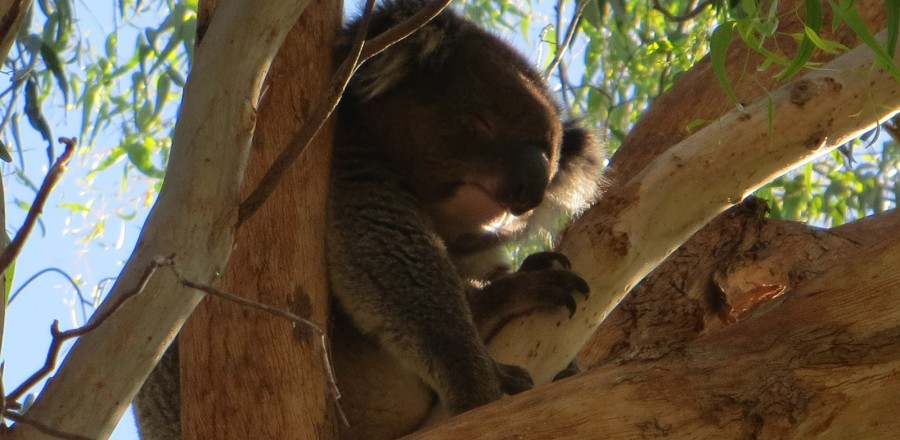 Cute Cuddly Koalas & the Barossa Valley, Australia