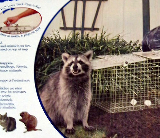 Trapping raccoons ~ a last resort