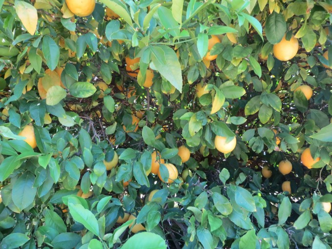 Meyer Lemon tree - Gippsland, Australia property