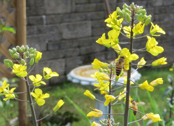 Self sown kale flowers attract bees in early spring