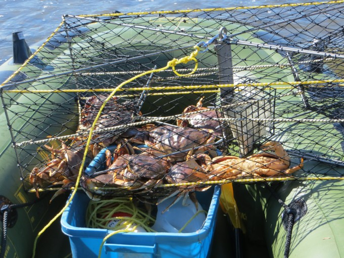 A net full of crab