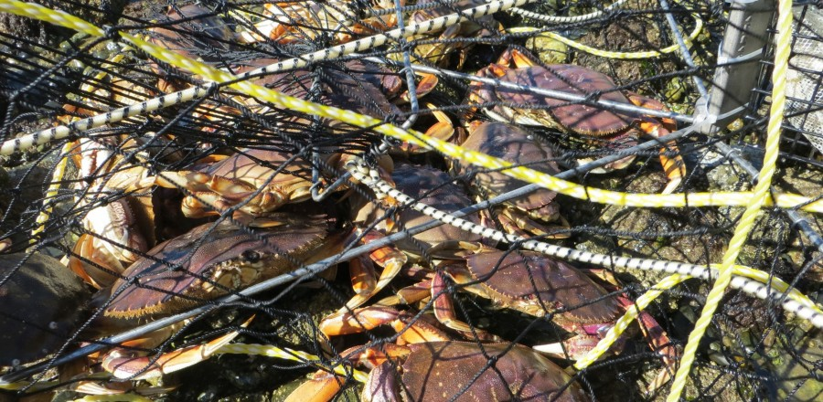 How to handle & prepare your Dungeness Crabs