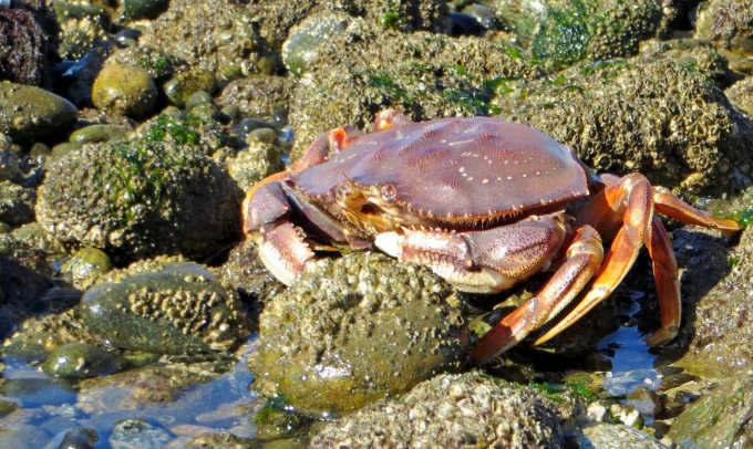 Released crab heading for the ocean