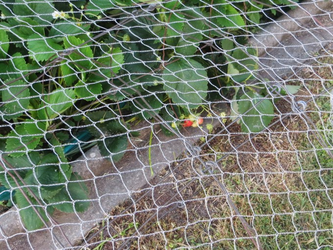 Strawberry crop under net - a good idea to protect from birds (Victoria, Australia)