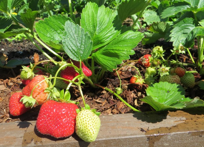 Spring's first ripening strawberries