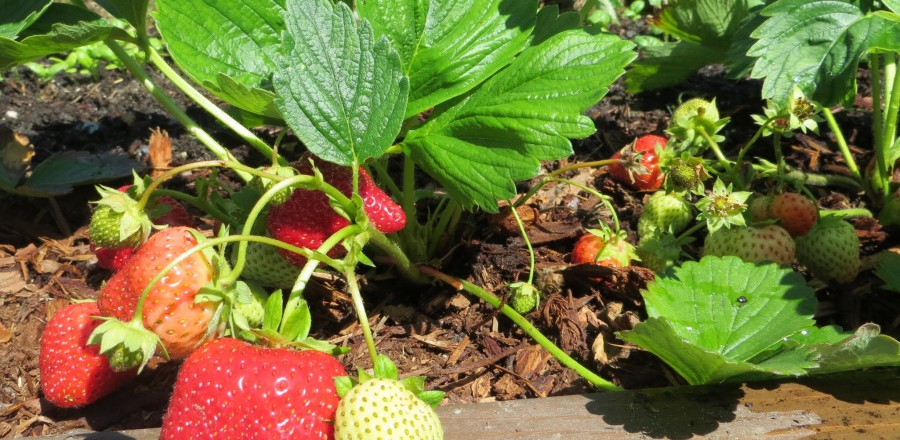 How to Grow Your Own Strawberry Plants