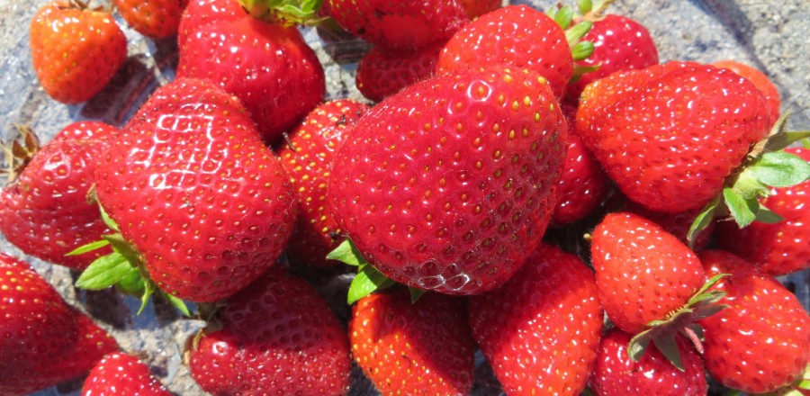 First strawberry pick – sweet and juicy strawberries
