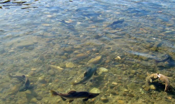 Spawning salmon - Vedder River 2009