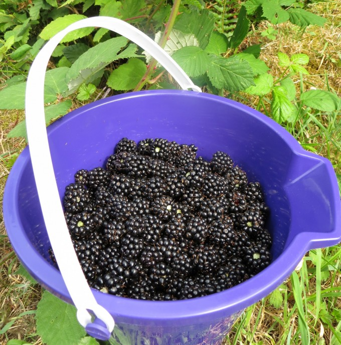 Wild blackberries - a bucket full of goodness