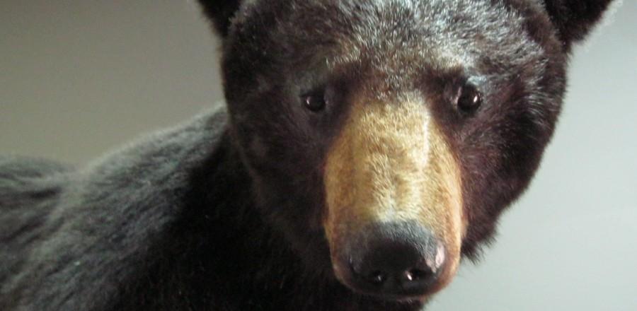 Black Bears & Grizzlies in British Columbia
