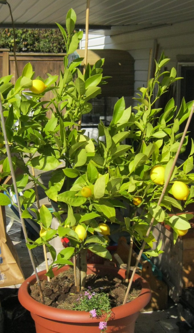 And why not try your hand at growing your own Meyer lemon tree at home