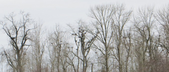 Great Blue Heron nests @ Nature Reserve