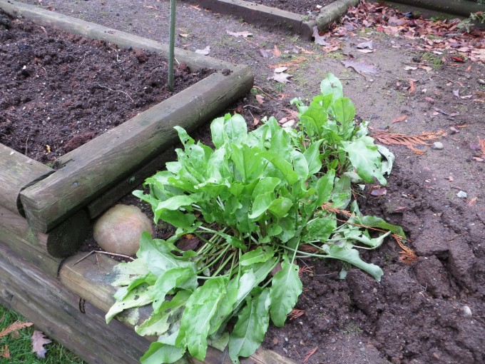 Sorrel is any easy to grow green & first up in the spring