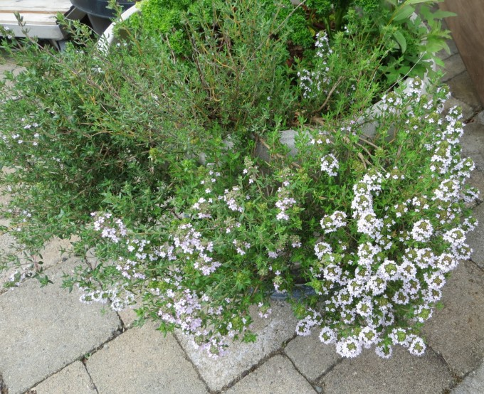 Portable Pollinator Pots - Flowering thyme in container