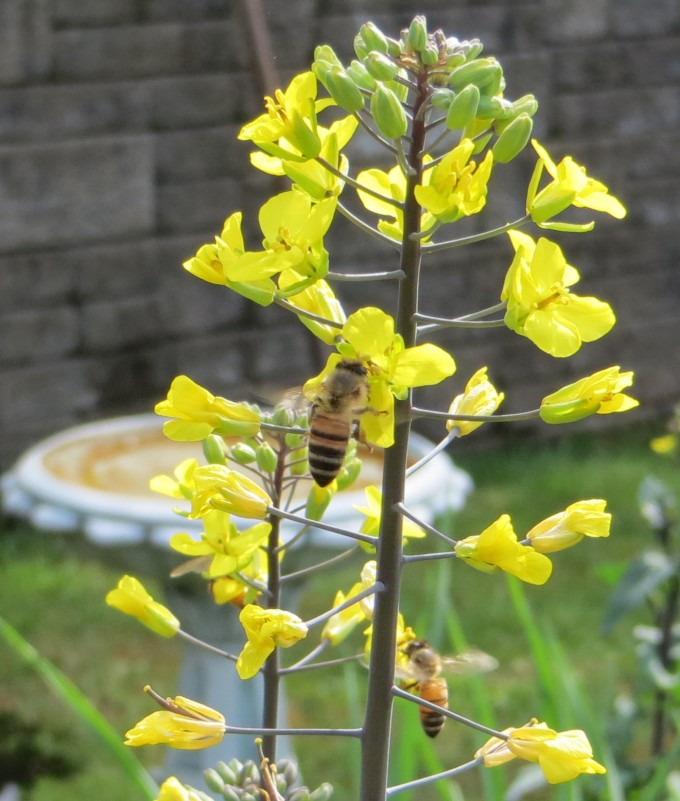 Self sown kale flowers attract many bees in early spring