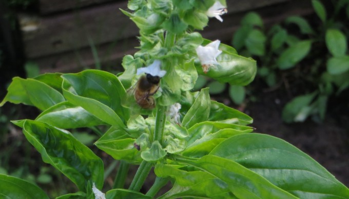 Bees and basil grow well together