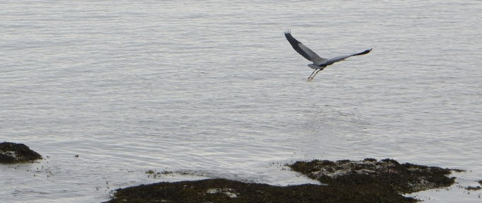 Giant blue heron wonderful to watch in flight @ Sunshine Coast, B.C.