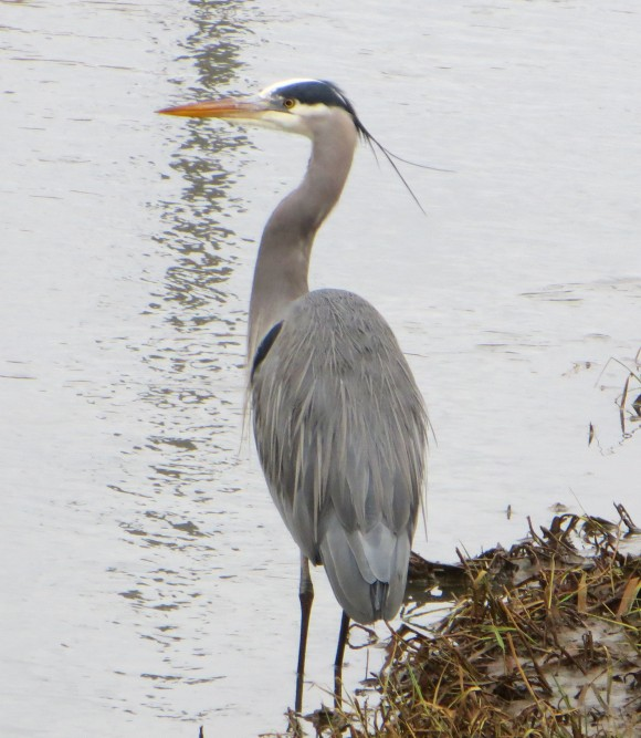 Heron - Low concern endangered species - fishing beside the road Chilliwack, B.C.