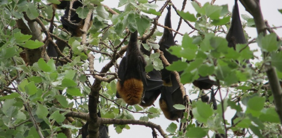 The Continuing Dilemma of Flying-foxes in Australia