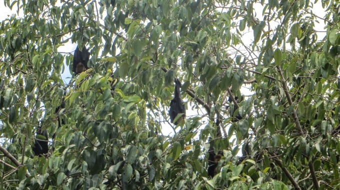 Flying foxes in downtown Cairns, Queensland