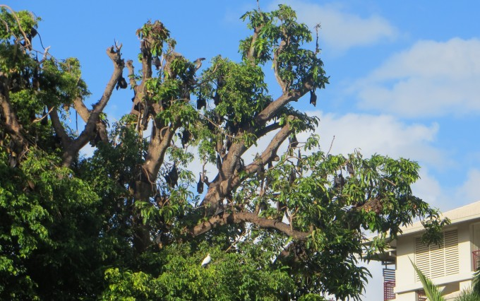 Bat nesting trees close to apartments and hotels in downtown