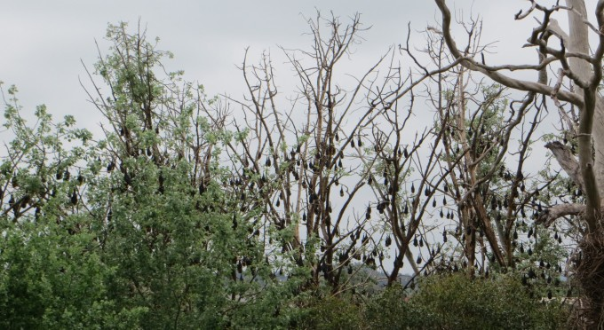 Bats have defoliated the trees along the Mitchell River, Bairnsdale, Victoria