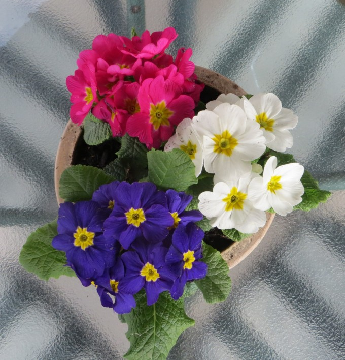 Add a few hardy primroses to a container to brighten your day