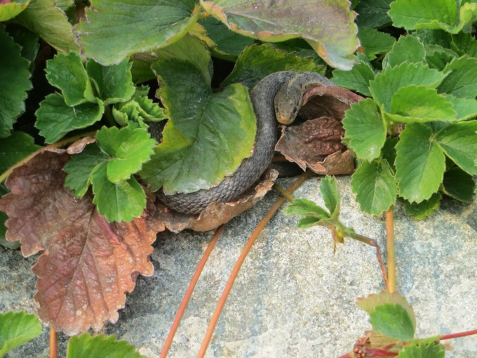 Snake on bug patrol in strawberry patch