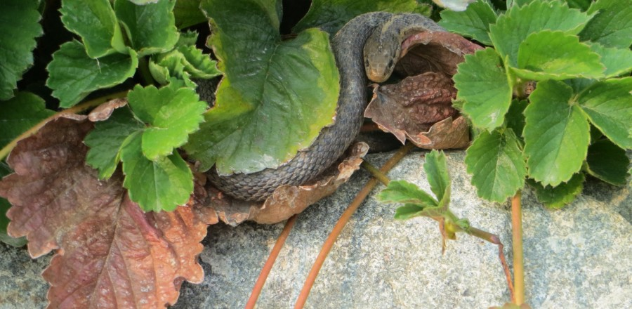 Snakes found throughout BC