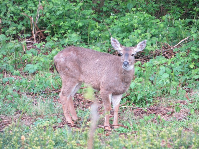 No fairies ~ just deer ~ at the bottom of our garden checking out the veggie patch