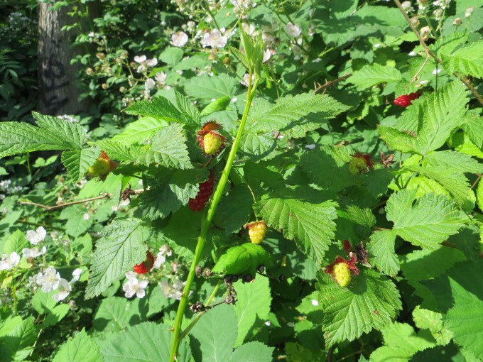 Our Current raspberries (unknown variety) produce in limited sun although they would be more prolific in full sun (6 hours per day minimum)