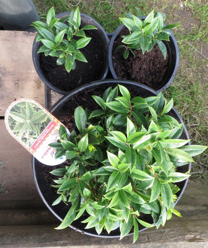 "Fragrant Mountain Himalayan Sweetbox - Sarcococca humilis ""Sarsid 2"""