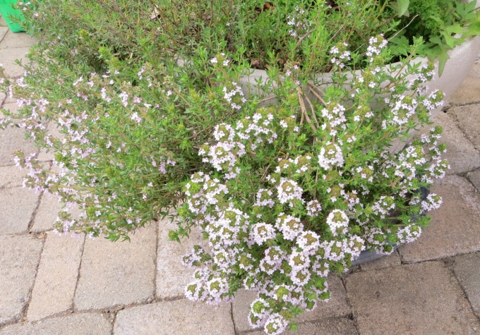 Garden flowering thyme USED IN CAP